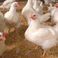 Pollos en Granja