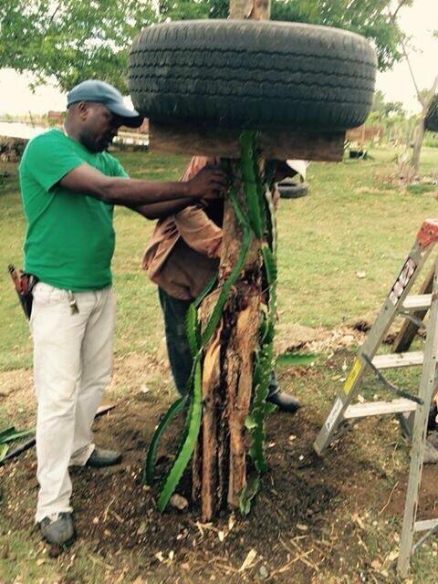 Plantando una mata de pitahaya